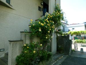 roses150511